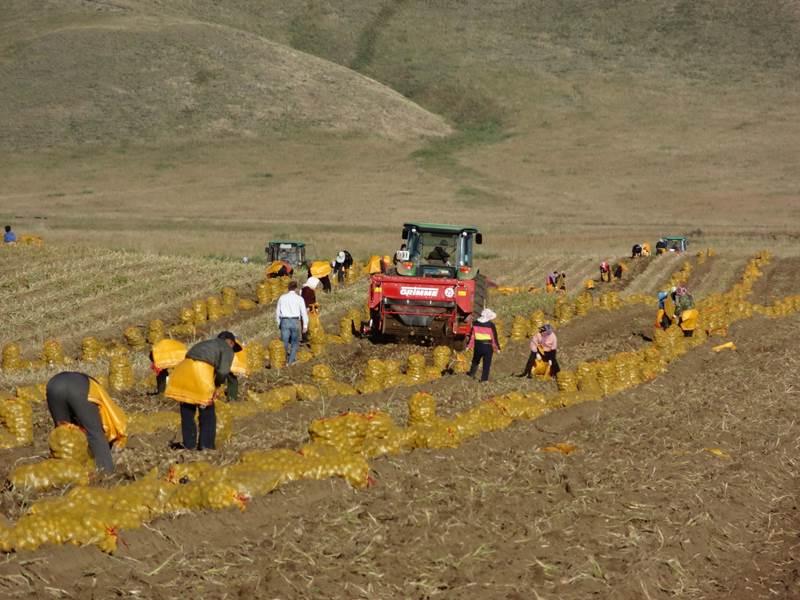 הוצאת תפוחי אדמה בסין, באמצעות ציוד של Grimme