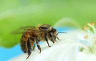 דבורים תחת חקירה
